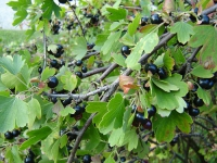 Смородина черная ( лист)