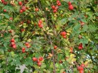 Шиповник ( плод)
