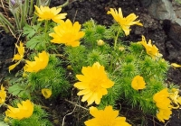 Адонис весенний ( горицвет)
