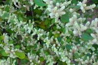 Эрва шерстистая (Пол-пала) трава (Aerva lanata)