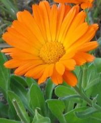 Календула лекарственная ( цвет)