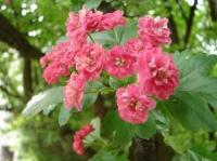 Боярышник кроваво-красный (цвет)