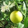 Эфирное масло Лимона ( 10 мл)