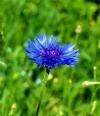 Василек синий ( цветы)