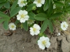 Лапчатка белая трава (Potentilla alba L.)