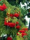 Рябина красная ( плоды)