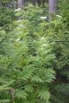Бузина травянистая ( корень)