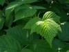 Малина лист