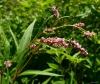 Горец перечный (перец водяной) трава (Polygonum hydropiper)