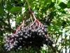 Бузина черная ( плоды)