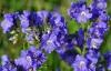 Синюха голубая корень (Polemomum coeruleum)