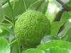 Маклюра ( адамово яблоко)