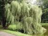Ива белая кора (Salix alba)