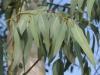 Эвкалипт ( лист)