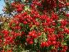 Боярышник кроваво-красный ( плод)