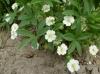 Лапчатка белая ( пятипал) корень