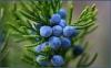 Можжевельник обыкновенный (плоды)