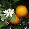 Эфирное масло Апельсина ( 10 мл)