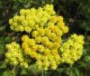 Бессмертник ( цветы)