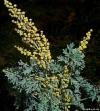 Полынь горькая трава (Artemisia absinthium)